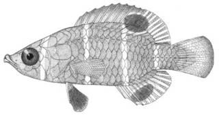 To NMNH Extant Collection (Wetmorella triocellata P04351 illustration)