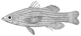 To NMNH Extant Collection (Ypsigramma lineatus P04293 illustration)