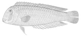 To NMNH Extant Collection (Xyrichthys psitticus P04307 illustration)