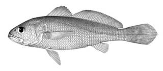 To NMNH Extant Collection (Sciaena nibe P05898 illustration)