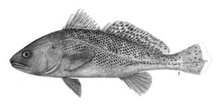 To NMNH Extant Collection (Sciaena diacanthus P05900 illustration)
