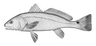To NMNH Extant Collection (Sciaenops ocellatus P05905 illustration)