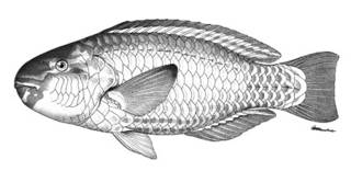 To NMNH Extant Collection (Callyodon cyanogrammus P05980 illustration)