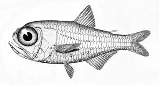 To NMNH Extant Collection (Scopelus rissoi P05834 illustration)