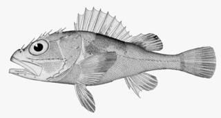 To NMNH Extant Collection (Scorpaena cristulata P05843 illustration)