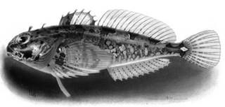 To NMNH Extant Collection (Schmidtia alisi P05934 illustration)