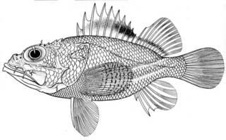 To NMNH Extant Collection (Scorpaena pallidimacula P05778 illustration)