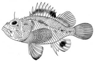 To NMNH Extant Collection (Scorpaena magalepis P05781 illustration)