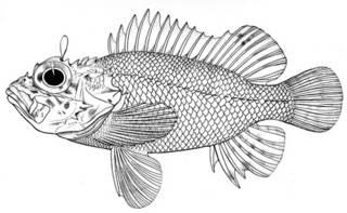 To NMNH Extant Collection (Scorpaena mcadamsi P05792 illustration)