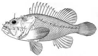 To NMNH Extant Collection (Scorpaena hemilepidota P05799 illustration)