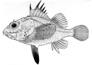 To NMNH Extant Collection (Scorpaenella cypho P05801 illustration)