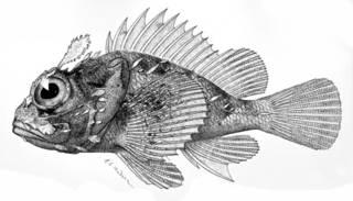 To NMNH Extant Collection (Scorpaenopsis altirostris P05820 illustration)