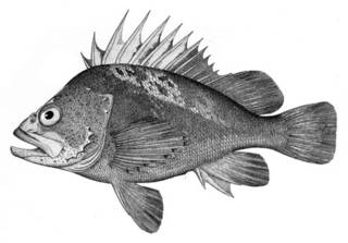 To NMNH Extant Collection (Sebastodes maliger P05604 illustration)