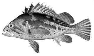 To NMNH Extant Collection (Sebastodes caurinus P05652 illustration)