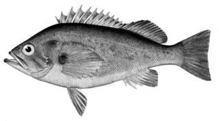 To NMNH Extant Collection (Sebastodes ciliatus P05655 illustration)