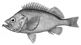 To NMNH Extant Collection (Sebastes vivparus P05700 illustration)