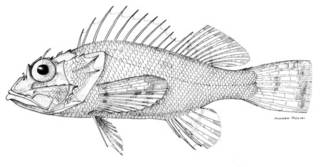 To NMNH Extant Collection (Scorpaena dispar P05817 illustration)