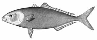 To NMNH Extant Collection (Seriola sparna P05518 illustration)