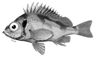To NMNH Extant Collection (Sebastodes scythropus P05574 illustration)