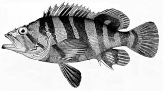 To NMNH Extant Collection (Sebastodes serriceps P05575 illustration)