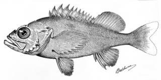 To NMNH Extant Collection (Sebastodes swifti P05579 illustration)