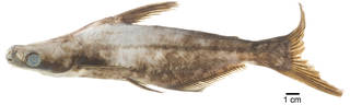 To NMNH Extant Collection (Pangasius USNM 304881 photograph lateral view)