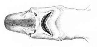 To NMNH Extant Collection (Pentanchus herklotsi P07839 illustration)