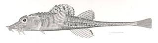 To NMNH Extant Collection (Podothecus acipenserinus P07723 illustration)