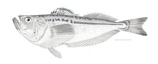 To NMNH Extant Collection (Trichodon trichodon P04590 illustration)
