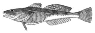 To NMNH Extant Collection (Leptocottus armatus P14769 illustration)