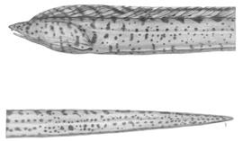 To NMNH Extant Collection (Letharcus pacificus P14817 illustration)