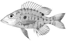 To NMNH Extant Collection (Lethrinus kallopterus P14828 illustration)