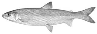 To NMNH Extant Collection (Leucichthys harengus P14853 illustration)