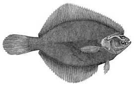 To NMNH Extant Collection (Liopsetta putnami P08621 illustration)
