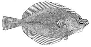 To NMNH Extant Collection (Limanda proboscidea P12894 illustration)