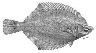 To NMNH Extant Collection (Limanda iridorum mororan P12895 illustration)