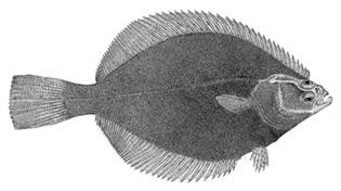 To NMNH Extant Collection (Liopsetta glacialis P12898 illustration)