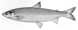 To NMNH Extant Collection (Argyrosomus ontariensis P14865 illustration)