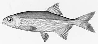 To NMNH Extant Collection (Leuciscus balteatus P14885 illustration)