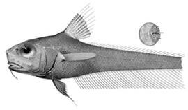 To NMNH Extant Collection (Lionurus darus P14932 illustration)