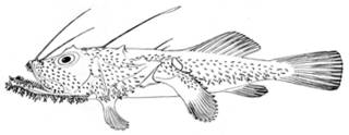 To NMNH Extant Collection (Lophoices olivaceus P14989 illustration)