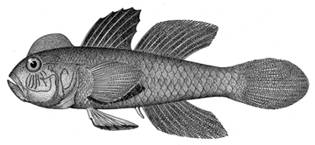 To NMNH Extant Collection (Lophogopius cyprinoides P15011 illustration)