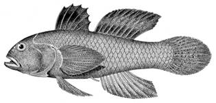 To NMNH Extant Collection (Lophogobius cyprinoides P15012 illustration)