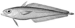 To NMNH Extant Collection (Lotella maxillaris P15036 illustration)