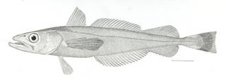 To NMNH Extant Collection (Merluccius productus P13450 illustration)