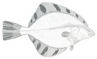 To NMNH Extant Collection (Platichthys stellatus P08208 illustration)