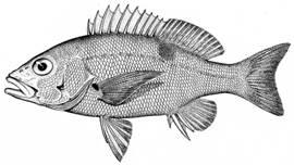 To NMNH Extant Collection (Lutianus luzionius P15071 illustration)
