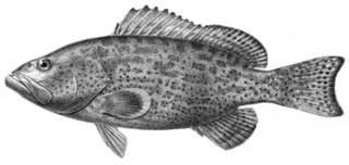 To NMNH Extant Collection (Mycteroperca bowersi P09663 illustration)