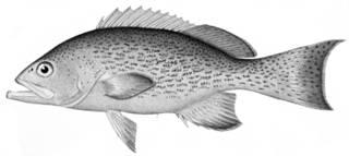 To NMNH Extant Collection (Mycteroperca falcata phenax P09666 illustration)