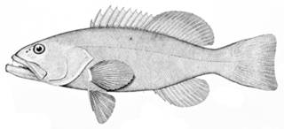 To NMNH Extant Collection (Mycteroperca jordani P09667 illustration)